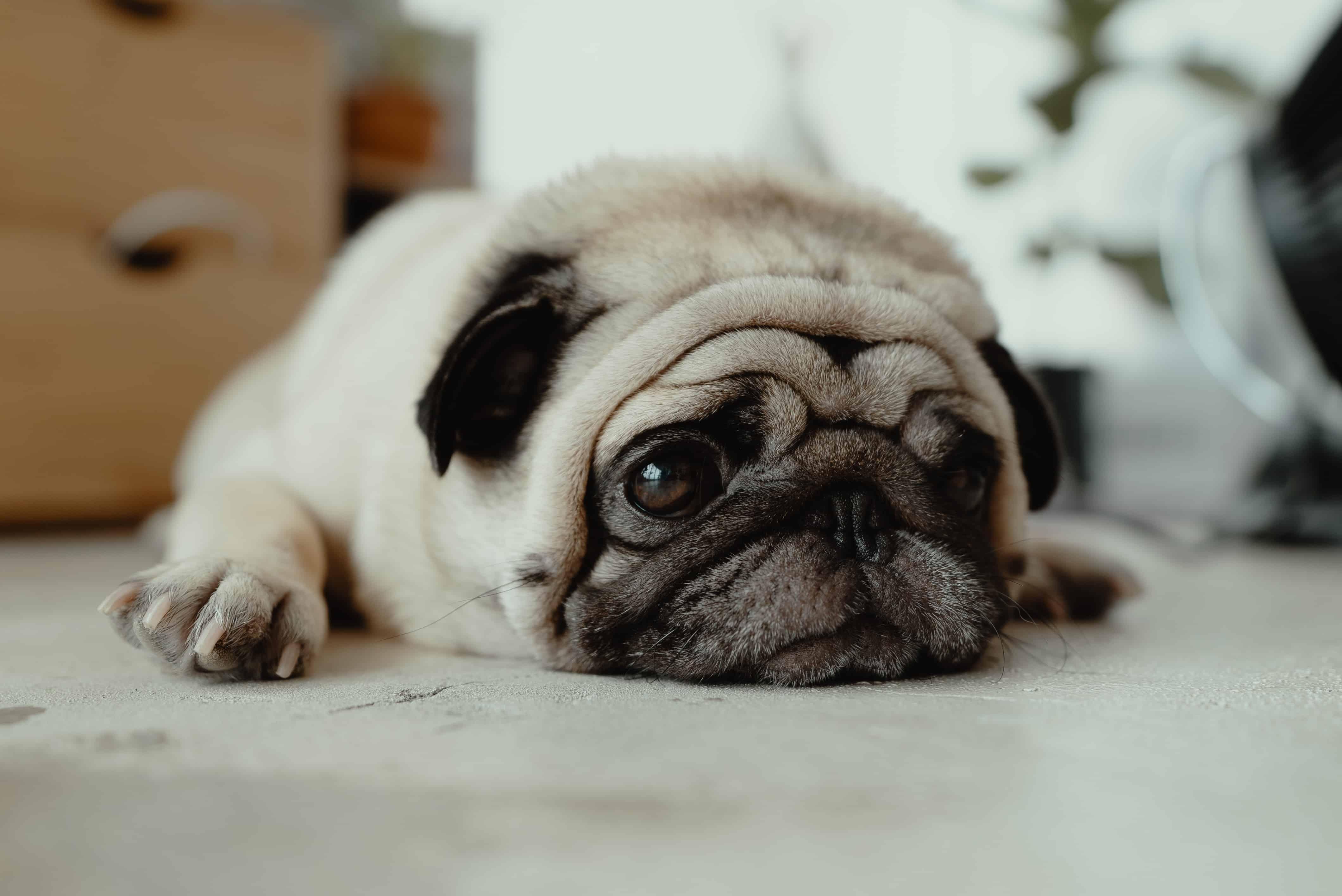 symptome-pollenallergie-hund
