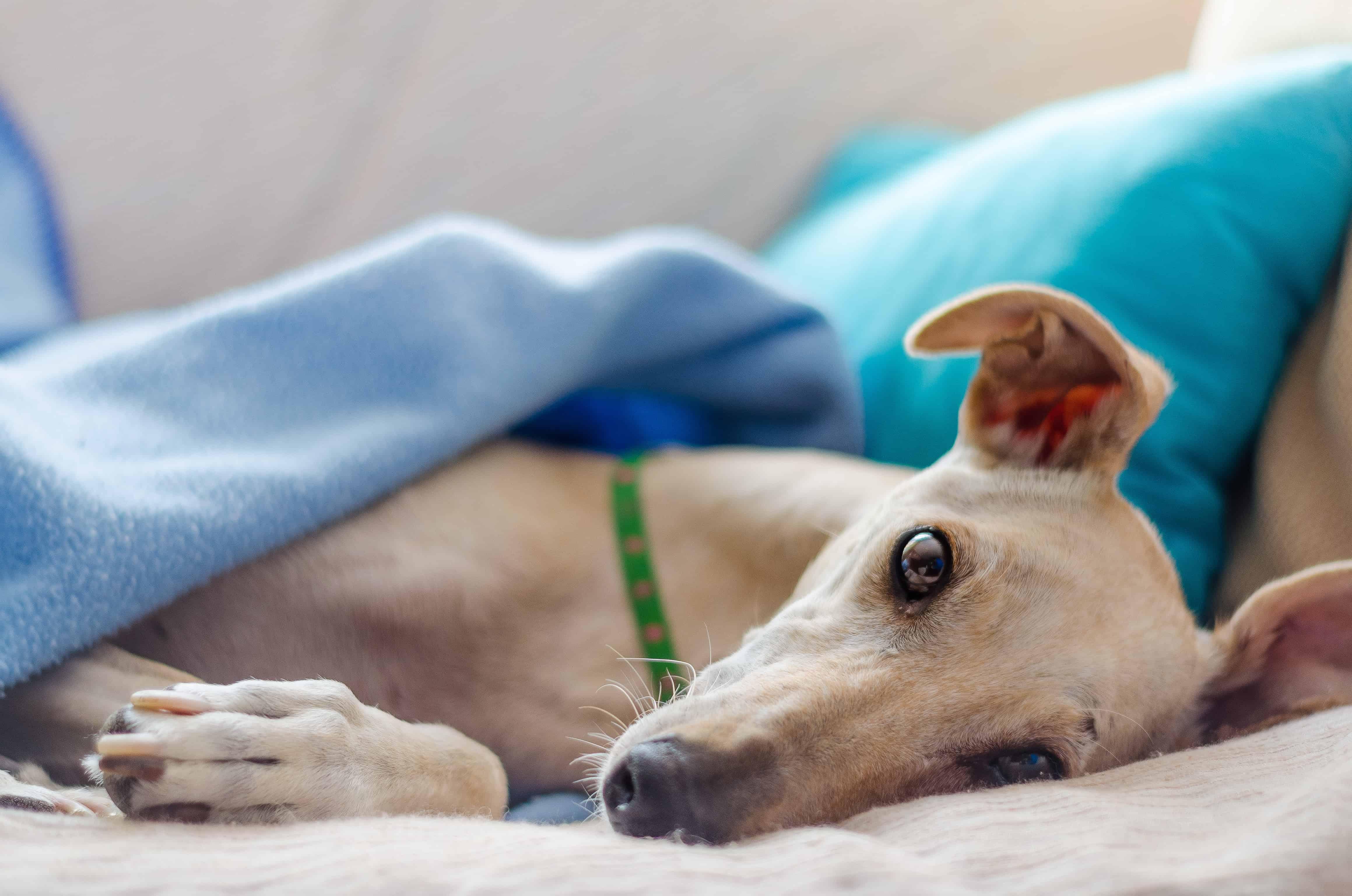 Pollenallergie-hund-behandlung