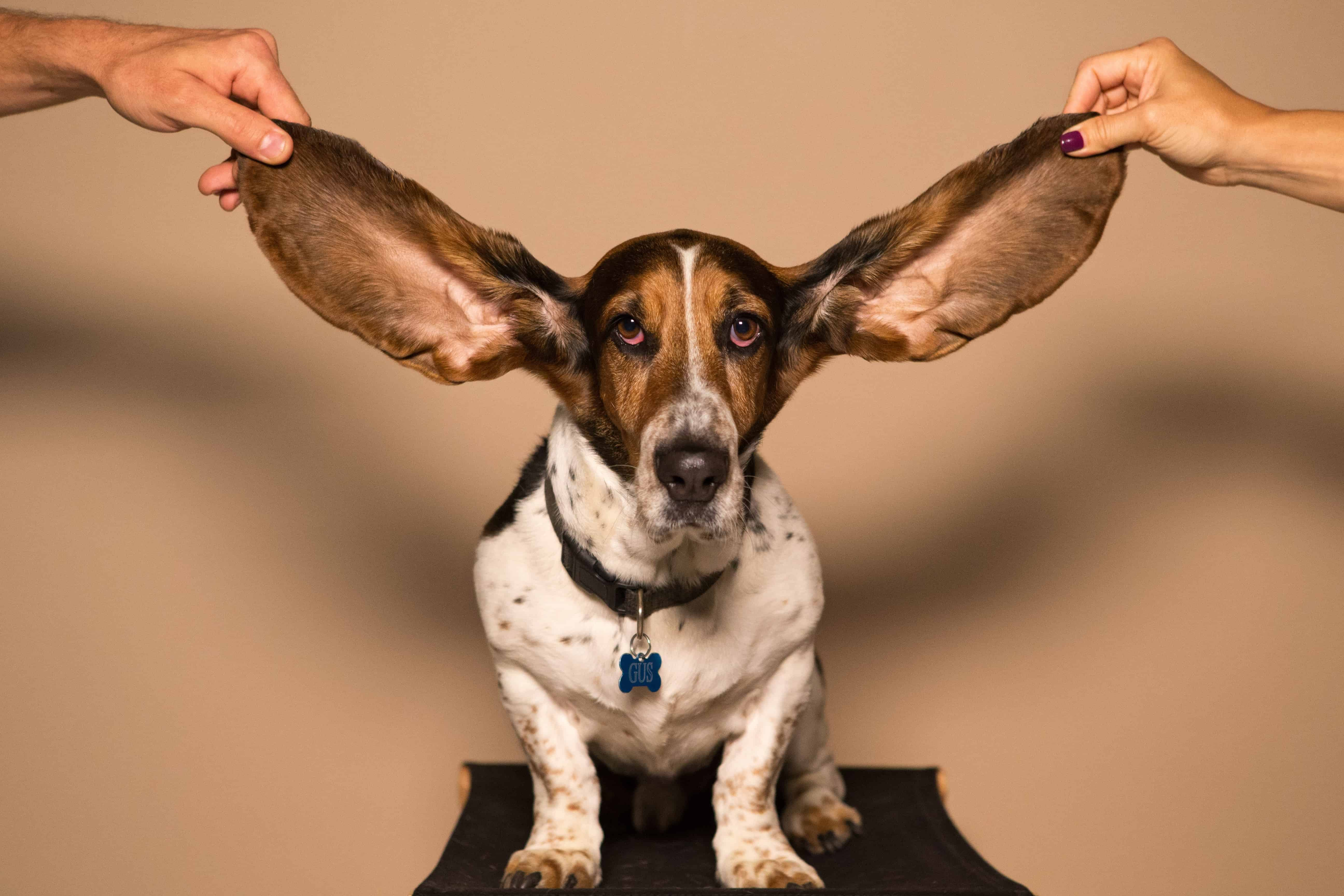 Ohrenentzündung-hund