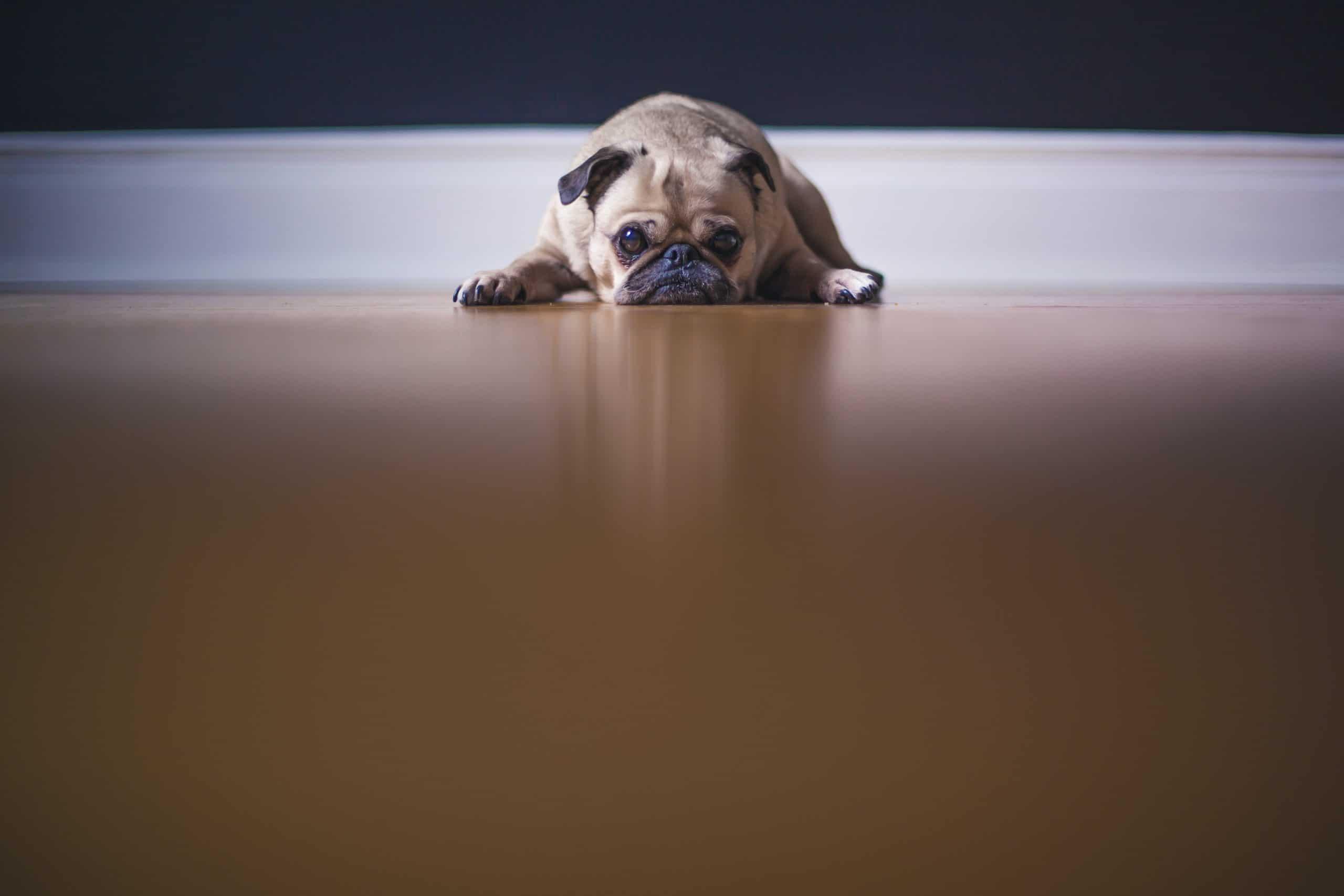 Nachtkerzenöl hund